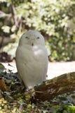 Beautifully colored male Snowy Owl, Nyctea scandiaca Stock Photos