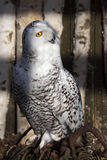 Beautifully colored male Snowy Owl, Nyctea scandiaca Royalty Free Stock Image