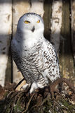 Beautifully colored male Snowy Owl, Nyctea scandiaca Royalty Free Stock Images