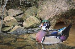 Beautiful coloured mallard duck floating. A beautifully coloured mallard duck floating on the water I its habitat Stock Photos