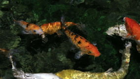 Beautifully decorated artificial pond with Koi. Beautifully decorated artificial pond with colorful Koi stock footage