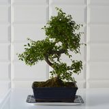 Beautifully decorative bonsai tree in a blue ceramic pot. stock photos