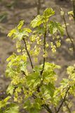 Young currant leaves and currant flowers bloom in the spring garden. royalty free stock photos