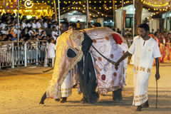 A beautifully dressed young elephant parades through the arena at the Katararagama Festival in Sri Lanka. Stock Images