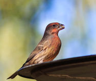 Beautifully färgad manlig husfink på fågelförlagemataren royaltyfri foto