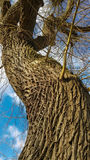 Beautifully grooved tree trunk against the sky. Photographed in Canterbury in the UK Stock Photography