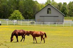 Beautifully Healthy Horses Grazing in an Open Field. In front of a stable royalty free stock image