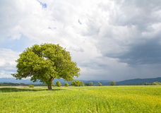 Beautifully lit green tree Royalty Free Stock Photography