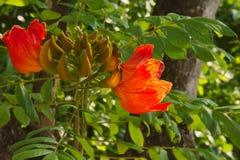 Beautifully ljusa stora blomningar för orange träd och angränsande gröna knopp-långor som siktas i en parkeringszon av ett stort  Fotografering för Bildbyråer