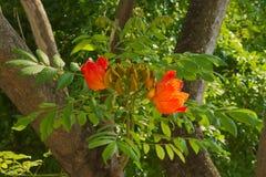 Beautifully ljusa stora blomningar för orange träd och angränsande gröna knopp-långor som siktas i en parkeringszon av ett stort  Royaltyfria Foton