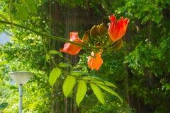 Beautifully ljusa stora blomningar för orange träd och angränsande gröna knopp-långor som siktas i en parkeringszon av ett stort  Arkivbilder
