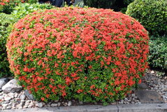 Beautifully manicured green bush with red flowers. Landscape design Royalty Free Stock Image