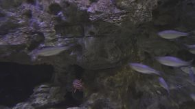 Beautifully marine aquarium with silvery fish stock footage video stock video footage