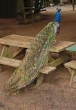 Beautifully posed peacock Royalty Free Stock Photo