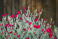 Beautifully small red flowers Stock Photos