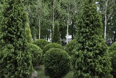 Beautifully trimmed trees. Trimmed cone and pyramid trees in the garden Royalty Free Stock Photos
