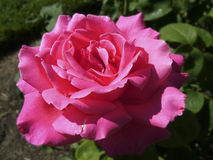 Beautifully Unique Bright Pink Rose Stock Images