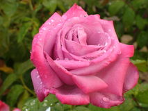Beautifully Unique Bright Pink Rose in the Rain Royalty Free Stock Photography