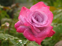 Beautifully Unique Pink Rose in the Rain Stock Images