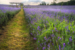 Beautifully vibrant lavender field landscape Stock Photography