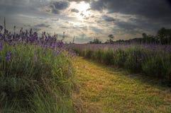 Beautifully vibrant lavender field at sun Royalty Free Stock Image