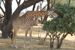 Beautifully view of giraffe at ruaha national park royalty free stock photography