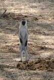 Beautifully view of monkey at ruaha national park royalty free stock photos
