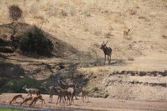 Beautifully view of tandalaantelope at ruaha national park royalty free stock image