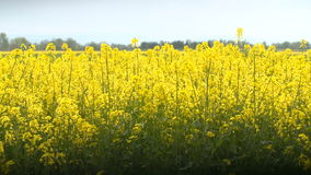 Beautifully yellow oilseed rape flowers in the field. Two tractors in the background stock footage