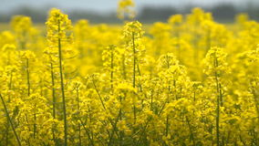 Beautifully yellow oilseed rape flowers in the field. Two tractors in the background stock video footage