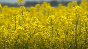 Beautifully yellow oilseed rape flowers in the field. Two tractors in the background stock video
