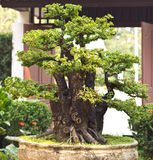 Bonsai tree. Is beautifuls bonsai in Thailand Royalty Free Stock Photos