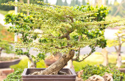 Bonsai trees. Is beautifuls bonsai in Thailand Royalty Free Stock Images