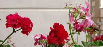 Beautifuls red and marbled white-pink geraniums flowers with a bee flying near of them. royalty free stock photo