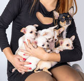 Beautifuls white puppys Chihuahua lies in the hands of at the ow Royalty Free Stock Photos