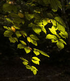 Beautifulsunlgiht dappled leaves in Fall forest landscape Royalty Free Stock Photography