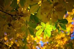 Beautifuly осветило листья осени Стоковое Изображение RF