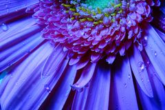 Macro Gerbera Flower, Water Droplets royalty free stock photography