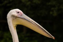 Pelican beack close up. A beautify and detailed close up of a Pelican. Without a distrating background and immence details stock photos