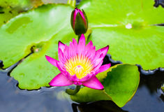 Beautify Lotus flower for background Stock Images
