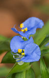 Beautifyl blue Dayflower Royalty Free Stock Photo