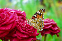 Beautifyl butterfly Royalty Free Stock Image