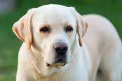 Beautigul Yellow Golden Labrador Stock Images