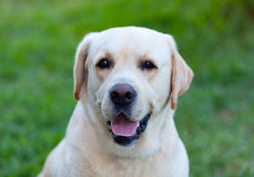 Beautigul Yellow Golden Labrador Royalty Free Stock Images