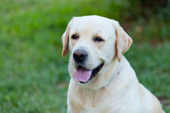Beautigul Yellow Golden Labrador Royalty Free Stock Photography
