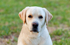 Beautigul Yellow Golden Labrador Stock Image