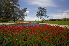 Beautiiful City Park Tulips Stock Photos