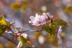 Beautirul zacken Kirschblüte-Blumen auf einem kleinen Zweig der japanischen Kirsche aus Lizenzfreie Stockfotografie