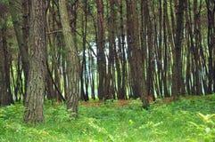 Beautitul pinjeskog Fotografering för Bildbyråer
