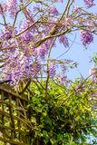 Beautiufl wisteria violet flowers blooming in the park. Against blue sky stock images